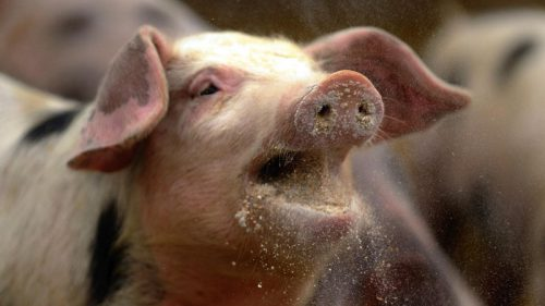 Дорожную карту генома вируса африканской чумы свиней составили ученые