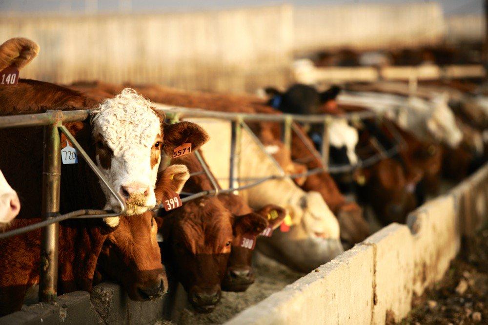 В России создается сеть скотных рынков-сервисных центров