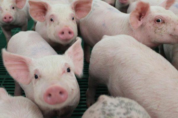 Минсельхоз РФ: производство свиней на убой в 2019 году выросло на 5,1%