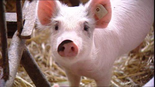В Вологодской области ликвидирован свиноводческий комплекс «Уломское»
