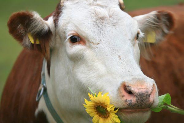 Потребители Черноземья могут укрепить иммунитет «молочкой» – эксперты