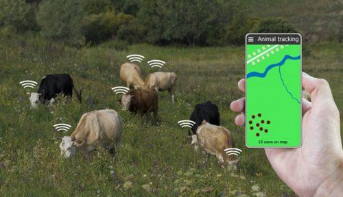 МТС тестирует умные датчики для крупного рогатого скота