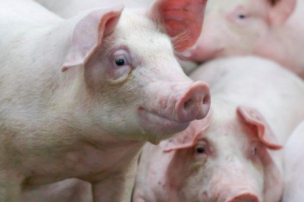СВК «Успенский» отправил на переработку первую партию товарных свиней