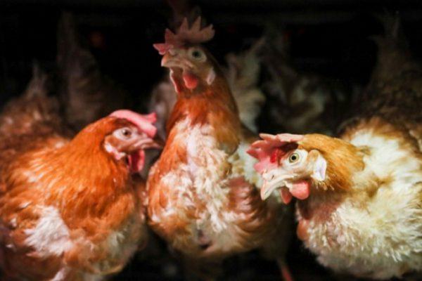 Птицефабрика «Волжская» планомерно создает производство полного цикла