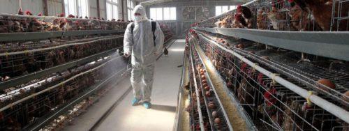 Более 20 фермерских хозяйств Подмосковья общей площадью 2 тыс. кв. м продезинфицировали ветеринарные врачи с начала года