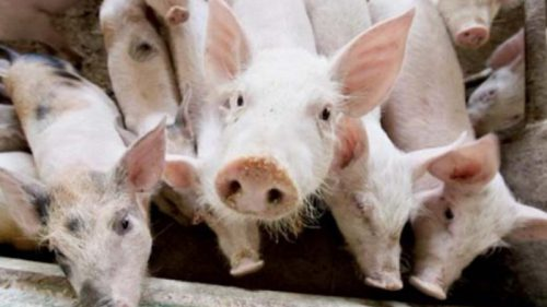 С начала года в России ликвидировано 112 случаев заболевания животных вирусом АЧС