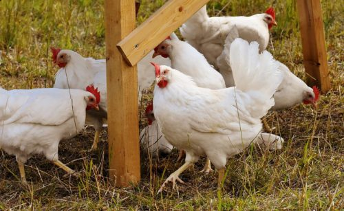 Египет получил разрешение на экспорт мяса птицы