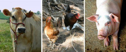 В Ульяновской области растет объём реализации скота и птицы