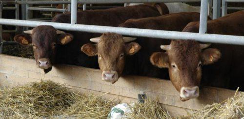 Во Владимирской области целенаправленно развивают мясное скотоводство