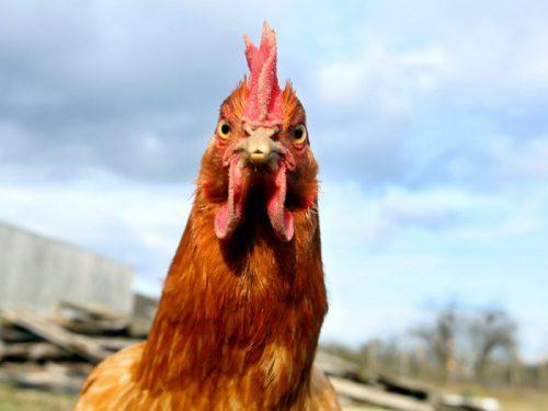Создание отечественного кросса мясных кур-бройлеров позволит сократить зависимость от импортной продукции