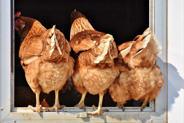 14 египетских производителей птицы получают зеленый свет на экспорт
