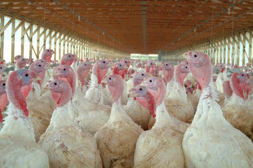 Завод по переработке мяса индейки на Ставрополье запустят в этом году