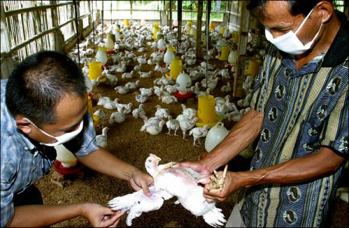 Высокопатогенный птичий грипп обнаружили на фермах на севере Филиппин