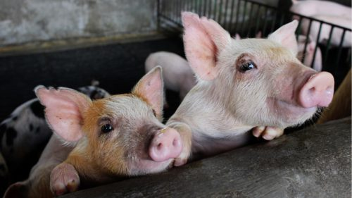 Свиноводческий комплекс «Уральский» переносят на новую площадку