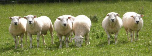 Овцеводческий проект «Дамате» поддержат новозеландские ученые