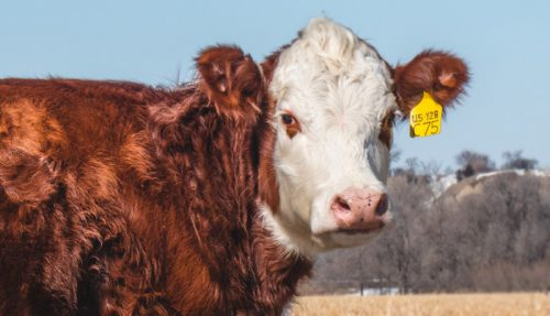 В Якутии начали маркировку скота и домашних собак