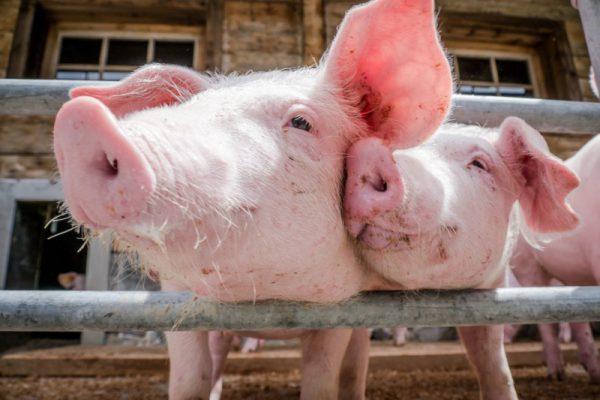 Бобровский мясокомбинат планирует строительство второго свинокомплекса