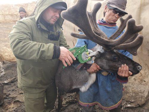 Как маркируют оленей в Ямало-Ненецком автономном округе