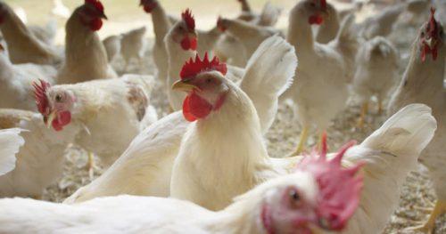 Беларусь: Птицефабрика «Дружба» запустила новый бройлерный цех