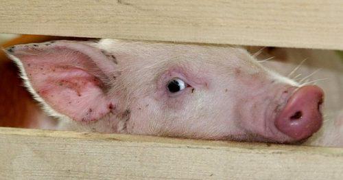 В России предупредили о распространении чумы свиней в Испании и Франции