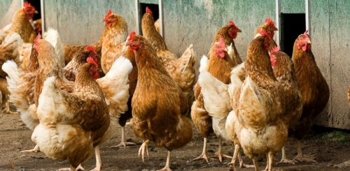 В России вывели самую плодовитую породу кур
