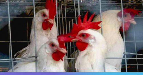 Под Омском обнаружили новый очаг птичьего гриппа