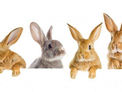 Перспективы производства мяса кролика в России