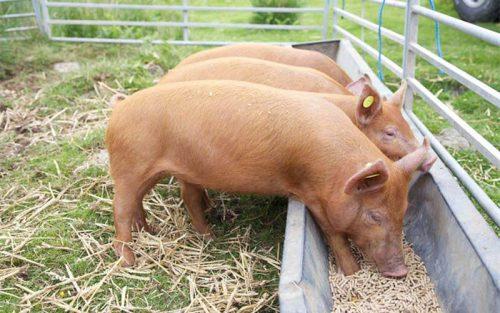 Ученые: сократить применение антибиотиков в свиноводстве помогут дрожжи