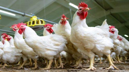 FAS USDA: консолидация российского рынка птицы продолжится в 2021 году