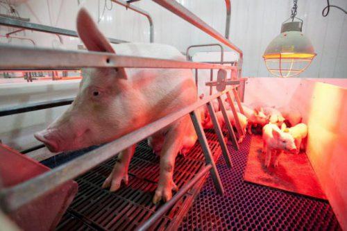 В России утвердили новые ветправила для предупреждения синдрома «синего уха» у свиней