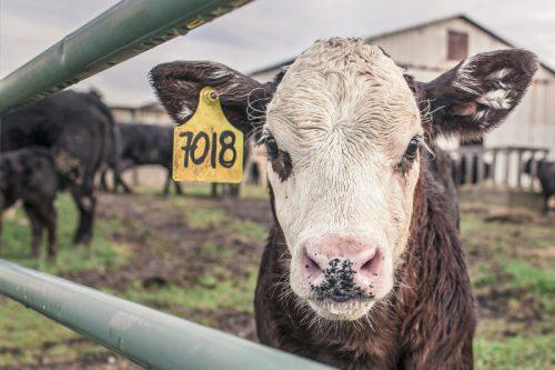 Минсельхоз внес в Правительство РФ законопроект о маркировании и учете животных