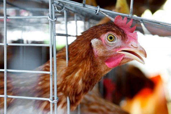 Быстрое распространение гриппа птиц в России угрожает птицеводству