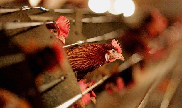 Россельхознадзор вводит временные ограничения на ввоз живой птицы, инкубационных яиц и птицеводческой продукции из Королевства Нидерланды