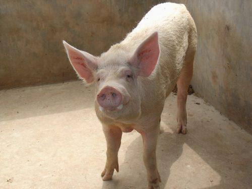 Новые ветправила по содержанию свиней начнут действовать с 2021 года