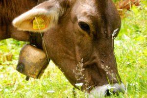Племенное животноводство освободили от НДС до 31 декабря 2022 года