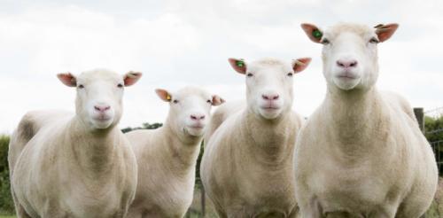 Россельхознадзор информирует о корректировке белорусской стороной ограниченных мер, введенных ранее в связи со вспышкой оспы овец и коз в Московской и Калужской областях