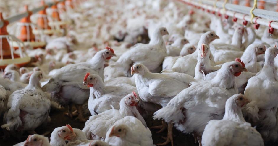 Рентабельность птицеводческих предприятий в России снизилась до 5%