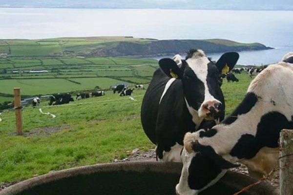 В 2020 году Ленобласть увеличила объем производства молока до 650 тысяч тонн
