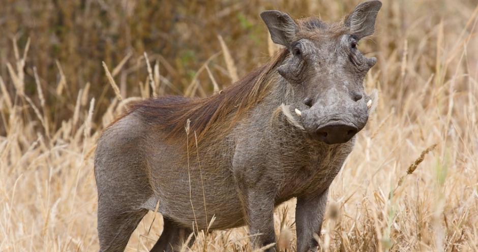 Кишечные бактерии бородавочника защищают домашних свиней от АЧС