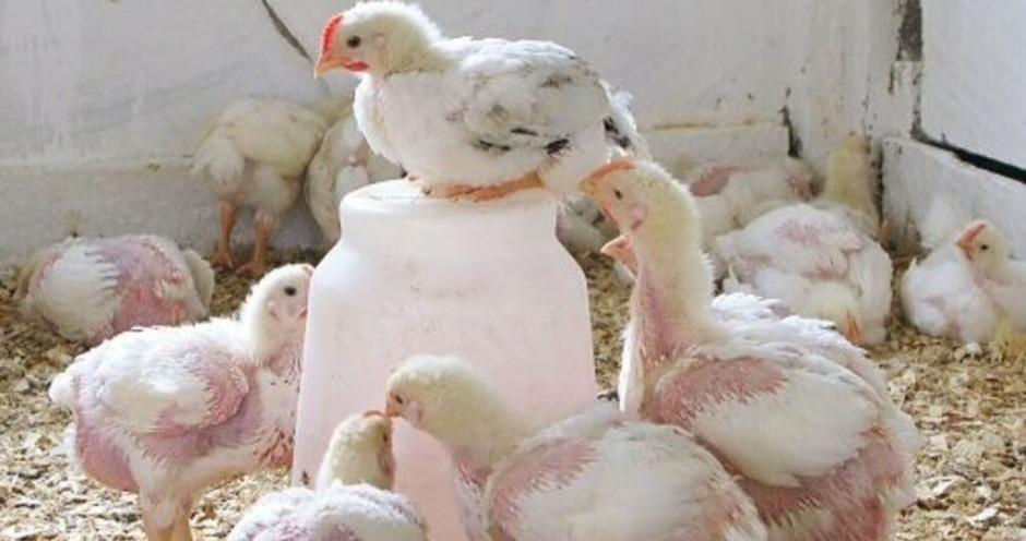 В России будет запатентована первая отечественная порода мясных кур
