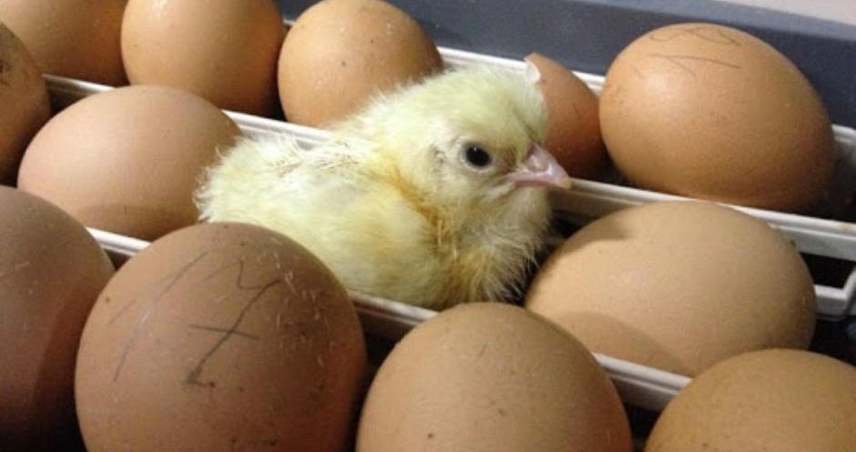 Суд отказался ввести процедуру наблюдения на Урмарской птицефабрике