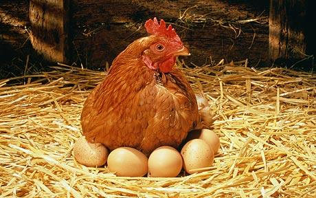Сколько кур надо завести для яичного достатка