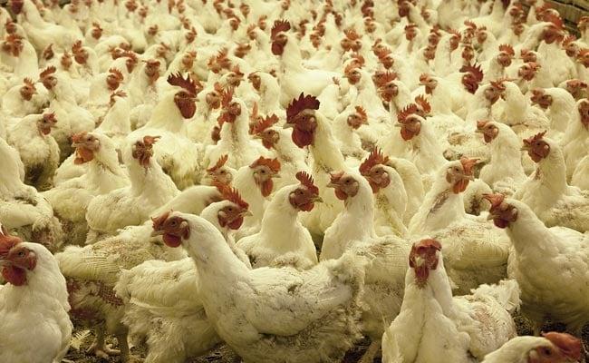 Местные породы кур с домашними кормами — экологичная альтернатива бройлерам на сое