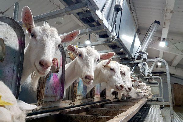 ООО «Экоферма «Дубровское» и КФХ Аверкиев откроют в Удмуртии две козоводческие фермы по 1000 голов