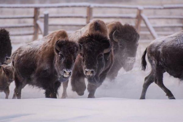 Популяцию бизонов в Якутии дополнят быками, выращенными в Латвии