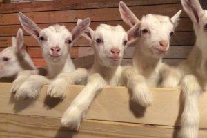 Андрей Клычков: орловские фермеры выбирают козоводство и сыроварение