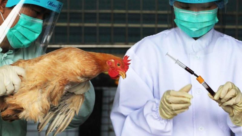 Чем опасен птичий грипп и меры профилактики