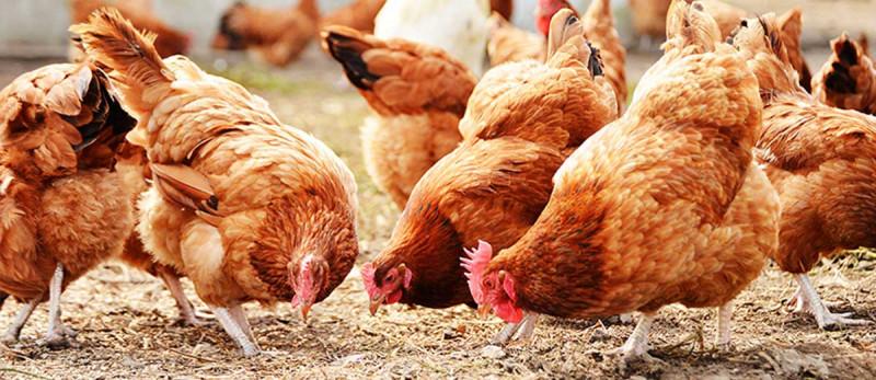 Основные положения и ключевые выводы Концепции продвижения мяса птицы российского производства на рынок КНР