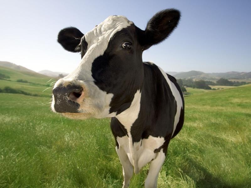 Естественный или искусственный способ осеменения коров. Что выбрать?