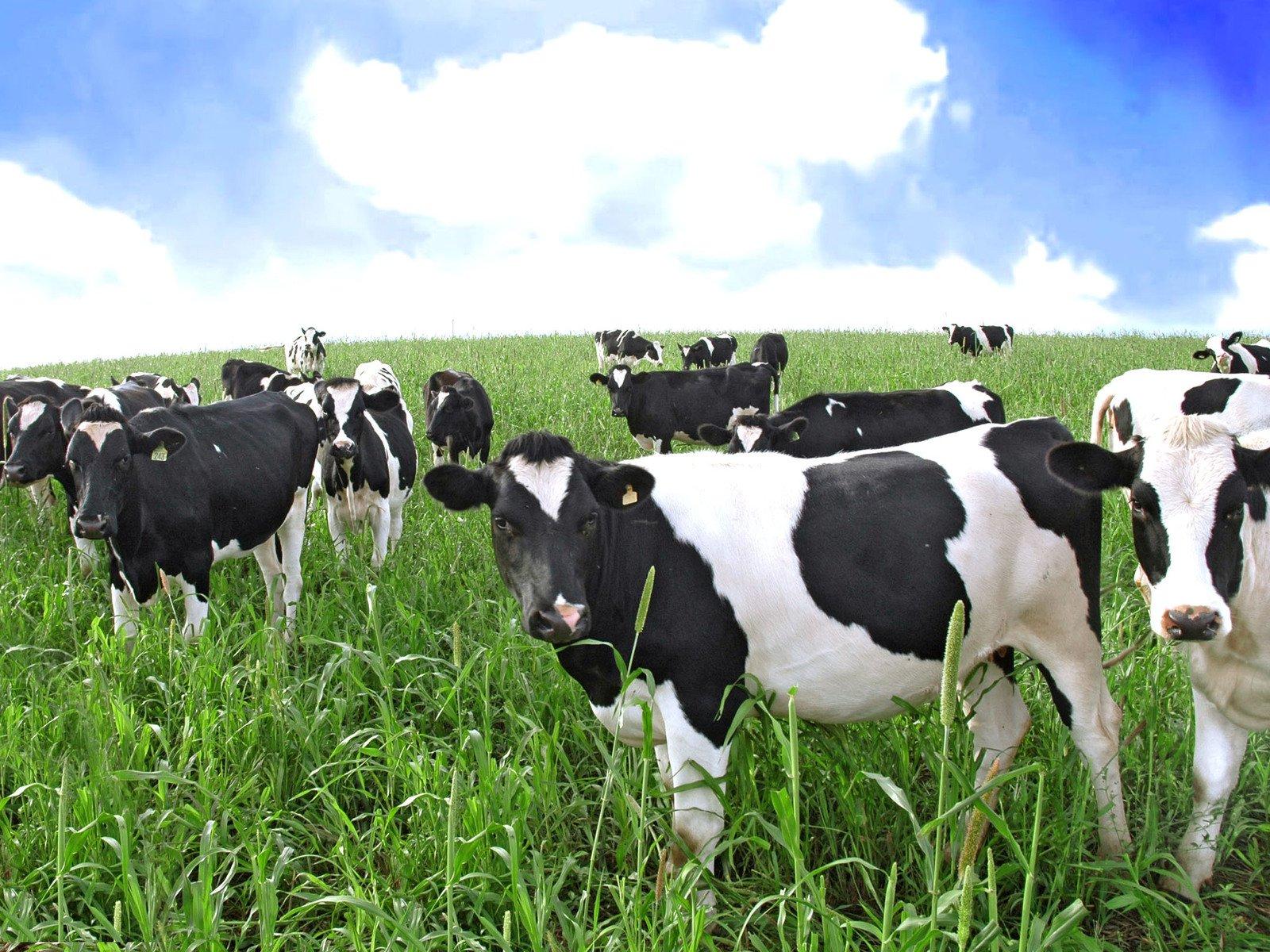 Защищённые жиры, для улучшения производства молока